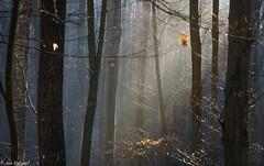 Is it the spring already? (Jan Vykypel) Tags: spring light wood forrest mist blue yellow sun ray sony alpha a7ii voigtlander apo lanthar 110mm