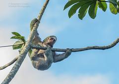Sloth - Folivora (rosebudl1959) Tags: 2018 costarica sloth
