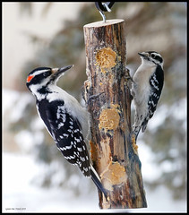 Hairy and Downy sharing (Lynnemvt) Tags: woodpecker wisconsin wildlife bird nature winter snow trees suet log feeder panasonic lumix fz1000