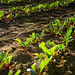 Young beet plants