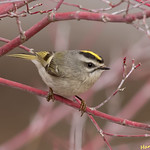 Golden crowned Kinglet thumbnail