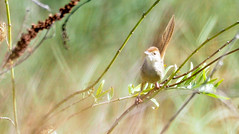 golden-headed cisticola (lee paqui) Tags: bird australianbird cisticola goldenheadedcisticola grass grassbird