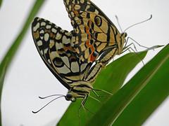 Mating lime butterflies (Matt C68) Tags: lime butterflies mating butter flies insect animal papiliodemoleus swallowtail panasonic lumix gx80 100300mm