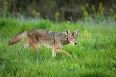 On the Prowl (Wildphotography - Barry Rowan) Tags: animal california canislatrans coyote locations mammal nature santabarbara wildlife winter goleta unitedstatesofamerica us
