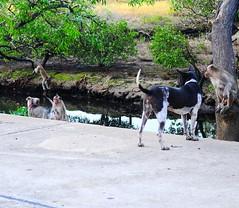 ,, Mickey & Monkey ,, (Jon in Thailand) Tags: dog dogs puppy monkey monkeys primate primates ape apes jungle deepjungle swamp themonkeytemple thezoomer nikon d300 nikkor 175528 legsthezoomer rescueddogs rescuedog abandonedpuppy rescuedpuppy jungleswamp red green orange yellow abandonedjungledogs abandoneddogs jungletrees wildlife wildlifephotography handstand circusshow photobomb littledoglaughedstories ew tew