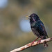 A starling shouts for breakfast