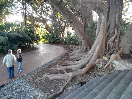 la magnolia dei giardini di villa Ormond