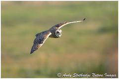 Incoming Shortie!! (www.andystuthridgenatureimages.co.uk) Tags: owl shortearred flying flight fly field moor winter raptor birdofprey hunting uk somersetlevels bird animal