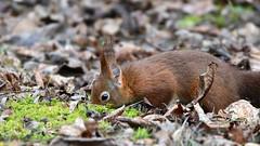 DSC_0573 Eichhörnchen - Squirrel (Charli 49) Tags: nature naturfotografie wildlife tier nikon d500 säugetier eichhörnchen