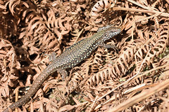Common Wall Lizard (Podarcis muralis) (Sky and Yak) Tags: podarcis muralis common wall lizard commonwalllizard reptile reptilesandamphibians herpetology herp herps nature naturalworld uk uklizards dorset south southcoast