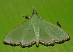 Patchy wing lace moth Parotis suralis Spilomelinae Crambidae Airlie Beach rainforest P1020107 (Steve & Alison1) Tags: patchy wing lace moth parotis suralis spilomelinae crambidae airlie beach rainforest