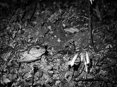 5585 - Charming prince (Diego Rosato) Tags: charming prince principe azzurro rospo toad giardino garden notte night flash fuji x30 rawtherapee bianconero blackwhite