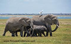 Elephant Family (FocusedOnNature.com) Tags: kenya amboselinationalpark elephant africa