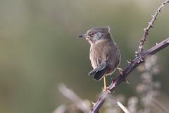 Dartford warbler 2 (cropped) (roger_forster) Tags: dartfordwarbler sylviaundata browndown gosport leeonthesolent hampshire wild bird