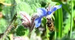 Bourrache officinale et abeille (bernard.bonifassi) Tags: hiver bb088 06 alpesmaritimes 2019 mars counteadenissa canonsx60 nice nissa nissalabella macro fleur bourracheofficinale insecte abeille miel