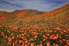 The Welcome Committee (Bridget Calip - Alluring Images) Tags: 2019 alluringimagescolorado bridgetcalip california californiapoppies lakestreet riversidecounty scenicbyway superbloom usa walkercanyon allrightsreserved beautiful bloom blueskies botanical clouds copyrighted dramaticclouds field flora flower hiking hill landscape meadow orange outdoor plant poppyapocalypse poppygeddon recreation rollinghills sky southerncalifornia spring sunny touristattraction travel vibrant wild wildflowers