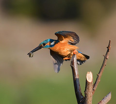 DSC_9105 (werner971) Tags: alcedoatthis martinpescatore birds birdwatching nikond850 nikon nature natura italy