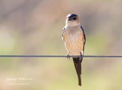 Red-rumped Swallow (Cercopis daurica) (George Wilkinson) Tags: cáceres cáceresprovince spain es
