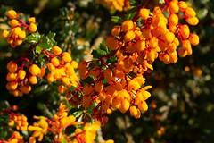 Orange flowers (akatsoulis) Tags: alexkatsoulis southoxfordshiredistrict landscape countryside england uk sunnyday arboretum d5300 nikon universityofoxford oxford harcourtarboretum
