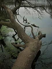 Im Oberwald (nordelch61) Tags: deutschland hessen heimat darmstadt oberwaldhaus steinbrücker teich baum see wasser baumstamm äste zweige ufer forest tree wooden fairytale enchanted märchen märchenhaft rinde