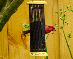 Male House Finch ! (backup1940) Tags: backup1940 bird finch katytexas housefinch