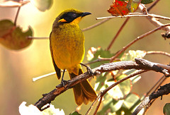 Yellow-tufted Honeyeater (Rodger1943) Tags: honeyeaters yellowtuftedhoneyeater australianbirds sonyrx10m4