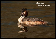 Great Crested Grebe . (Diddley Bo) Tags: