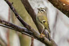 Gold-crowned Kinglet (Waspane) Tags: birds regulidae goldencrownedkinglet passireformes sony sigma