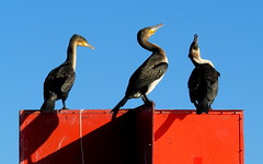 Cormorant ballet (__ PeterCH51 __) Tags: cormorant ballet bird animal knysna lagoon knysnalagoon gardenroute westerncape southafrica za peterch51