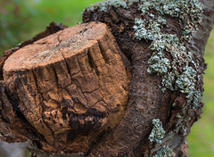 """Stumpy"" Man Made Decay (Ian Johnston LRPS) Tags: red tree stumpy rot bark outdoors branch sawn lichen graft fruit dead"