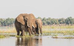 Quiet company (Tris Enticknap) Tags: africanelephant zambia elephant lowerzambezi africa loxodontaafricana