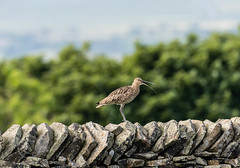 Wildlife around Magdalen June 2018 297 (Mark Schofield @ JB Schofield) Tags: reservoir water peat moorland bog moss agriculture yorkshire huddersfield wessenden head pule buckstones scammonden royd edge valley holme colne marsden meltham digley march haigh west nab deer emley mast lapwing curlew hare bird wildlife oyster catcher chick young short eared owl pennine way south pennines peak national park trust hills moors vallies hunting little duck mallard grouse kestrel red grey wagtail flight fly