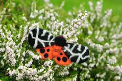Garden Tiger moth (© Catriona Walker) Tags: moth gardentiger catrionawalker needlefelt needlefelted needlefelting craft handmade arctiacaja