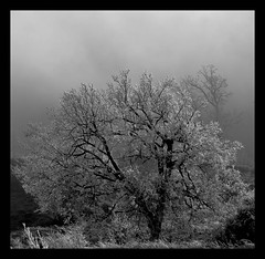 B/N (Cal Centelles) Tags: gebrada frozen bn bosc woods winter cold oak roure
