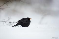 Black Bird (Gertj123) Tags: wildlife winter avian animal bokeh bird snow black netherlands resting arjantroost holterberg hide canon