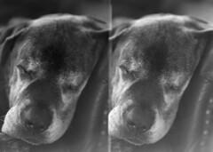 derby zzz split frame (ntenny) Tags: dogs derby portrait rembrandt 5x7 petzval
