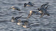 Calidris alba (k-g kirstein) Tags: nature wild wildlife europe baltic beach sea coast northsea bird birds wader motion flying flight