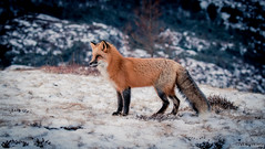 Red Fox (Melissa M McCarthy) Tags: redfox red fox animal nature outdoor wildlife wild orange blue winter snow scenery environment stjohns newfoundland canada canon7dmarkii canon100400isii