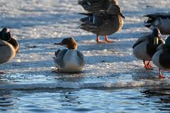 Koskelo (TheSaOk) Tags: lintu linnut birdlife bird birdwatch birdlover yleluonto luontokuva wildlife