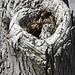 Western Screech owl in a heart shaped tree roost hole .