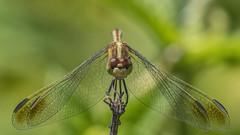 Erythrodiplax nigricans 2019.02.05_03 (carmen chase) Tags: argentina argentine fotomacrografía photomacrography macrofotografía macrophotography action acción macro insect insecto animalia hexapoda insecta pterygota palaeoptera odonata anisoptera libellulidae sympetrinae erythrodiplax nigricans dragonfly dragonflies libélula a7riii ilce7rm3 sony telemacro canon 500d lente lentilla de aproximación 2 dioptría dioptre close up lens recs