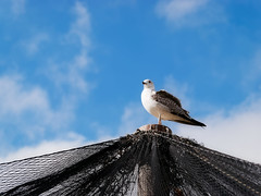 Terre en vue ! (Shiroi_kiba) Tags: mouette goeland seagull bluesky winter pirate mât filet bird wildlife clouds birdlover seabird palavas parcdulevant park languedoc panasonic dmcg80 hfsa100300 oiseau animal animallover