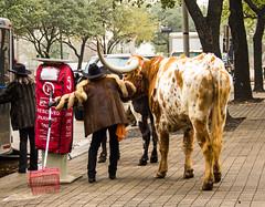 Reserved Parking (Ellsasha) Tags: longhorns cattle urban urbancowgirls downtown houston texas sidewalk
