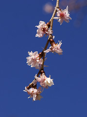Winterkirsche - Higan cherry (Prunus subhirtella autumnalis) (HEN-Magonza) Tags: botanischergartenmainz mainzbotanicalgardens rheinlandpfalz rhinelandpalatinate deutschland germany frühling spring winterkirsche higancherry prunussubhirtellaautumnalis