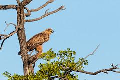 Tawny Eagle (RDBImages) Tags: tawnyeagle africanbirds