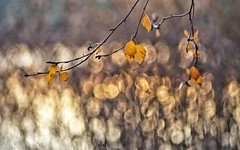 Fall evening (Stefano Rugolo) Tags: stefanorugolo pentax k5 pentaxk5 kmount smcpentaxm100mmf28 ricohimaging fallevening autumn evening shimmer bokeh depthoffield leaves branches tree birch bythelake impression abstract light hälsingland sweden manualfocuslens manualfocus manual vintagelens reeds golden