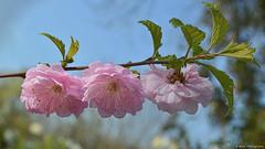 The breath of spring... 🌸 (Mona Zimba) Tags: spring cherry tree blossom bloom pink flowers sakura