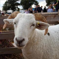 Oh Really (meniscuslens) Tags: sheep horns bucks county show pen buckinghamshire aylesbury weedon