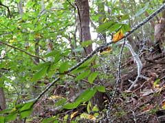Beech Blight Aphids (treegrow) Tags: rockcreekpark washingtondc nature lifeonearth raynoxdcr250 arthropoda insect hemiptera aphididae grylloprociphilusimbricator