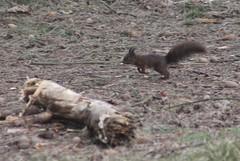 Squirrel (George C1) Tags: nature outdoor squirrel animal